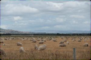 Plus de moutons que d'habitants...
