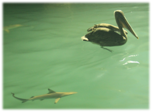Petit requin à pointes noires
